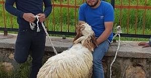 Buldukları Koyunu Sahibine Vermek İstiyor