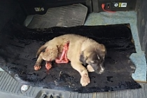 Midyat'ta yaralı köpeğe sahip çıktılar