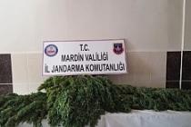 Kızıltepe'de75 kök Hint keneviri ele geçirdi